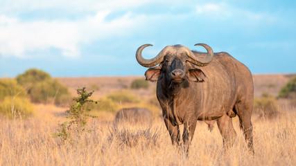 In de dag Buffel Wild African Cape Buffalo, kenya