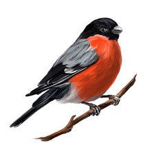 bird bullfinch on a branch, art illustration painted with watercolors isolated on white background