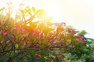 Wall Mural - Beautiful sunrise in natural park..Frangipani with beautiful red flowers refreshed with sunlight in the morning .