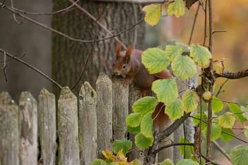 Printed kitchen splashbacks Squirrel European brown squirrel in summer coat on a branch in the forest