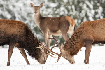 Two noble deer males and female in the winter snow forest. Natural winter landscape.