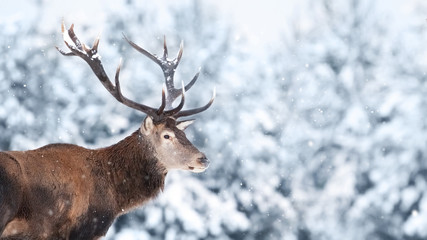 Fototapete - Noble deer male in the winter snow forest. Copy space.