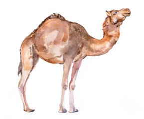 Watercolor realistic camel desert animal isolated on a white background illustration.