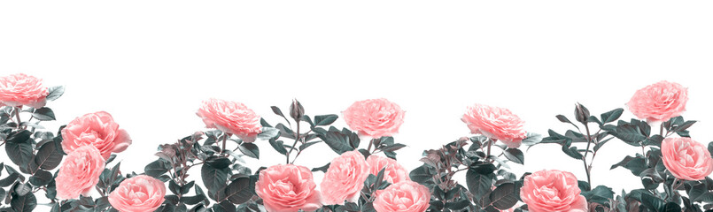 Beautiful wide banner with pink rose flowers and leaves toned in soft pastel colors isolated on white background