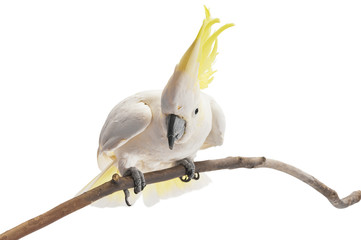 Fotobehang Papegaai Sulphur-crested Cockatoo, Cacatua galerita perched in front of a white background.