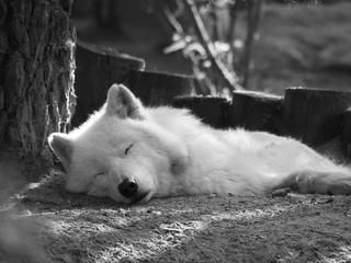 Photo sur Toile Loup Loup blanc allongé qui dort. Canis Lupus