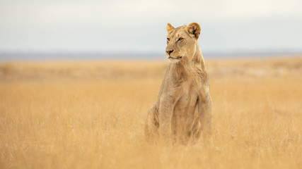 Spoed Foto op Canvas Leeuw lion in african national park