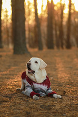 Dog is a friend of man Beautiful Labrador in a sweater in the autumn forest at sunset. Dog in a sweater with deers on the nature. My autumn with a dog. Vanilla picture with sunset.out walking dog