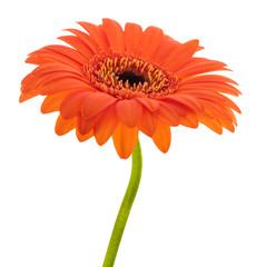 Orange Gerbera flower head
