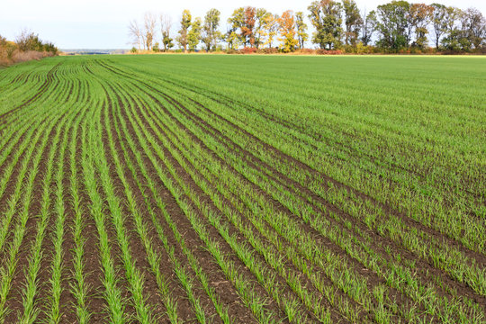 Smooth rows of shoots of winter wheat sprouted on a huge field in mid-autumn.
