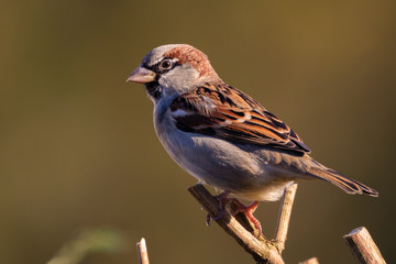 Portrait of House sparrow perched in germany