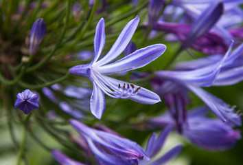 Decorate lily