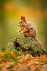 Foto op Plexiglas Eekhoorn Cute Red squirrel in the natural evironment, wildlife, close up, silhouete, Sciurus vulgaris