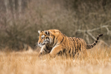 Siberian tiger in the natural environment, close up, silhouette, Panthera tigris altaica