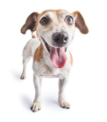 Dog Jack russell terrier standing on white background. Happy smile and positive motivation
