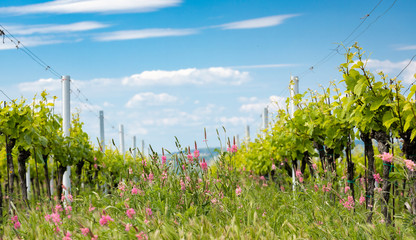 Spoed Fotobehang Wijngaard floral spacing in organic vineyard near Velke Bilovice, Moravia, Czech Republic