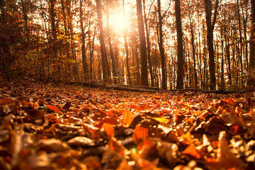 Autumn forest landscape with dried leaves and beech trees, fall nature landscape