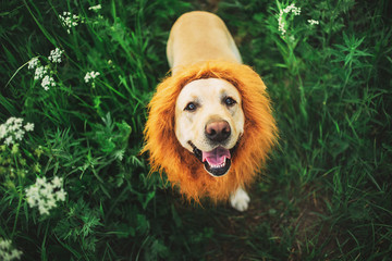 Satisfied beige dog with fake lion make enjoying in walk at nature Wall mural