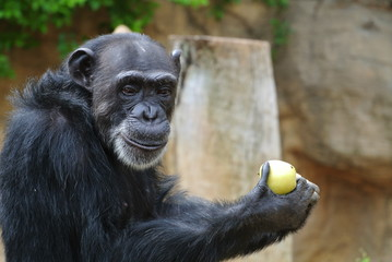 Monkey is happy when he got an apple to eat. Closeup photo of a monkey eating in zoo.