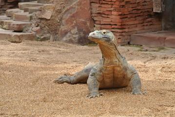 Closeup photo of a dragon walking in the zoo.