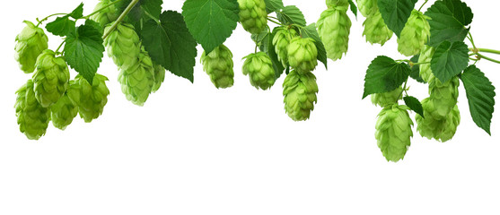 Green hop plants, isolated on white background.  ripe green hop cones, beer brewing ingredient. Common Hop.