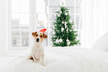 Photo of white and brown pedigree dog poses on white soft bed in bedroom, wears red Santa Claus, blurred background with decorated New Year tree