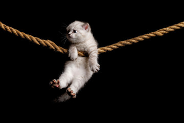 Cute little white kitten on a black background. hanging on the rope.