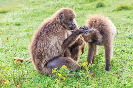 Ethiopia. North Gondar. Simien Mountains National Park. A pair of Gelada baboons grooming each other.
