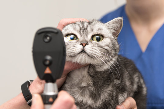 The cat is examined by the veterinarian. Vet lights up with the slit lamp in the eye of the pet.