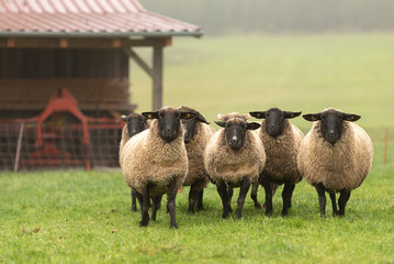 Tuinposter Schapen a cute group of sheep on a pasture stand next to each other and look into the camera