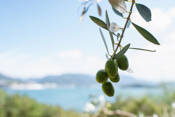 Fotobehang Olijfboom Olive tree against blue sea and sky, Shodoshima Island in Kagawa, Japan オリーブの木と瀬戸内海 香川県・小豆島