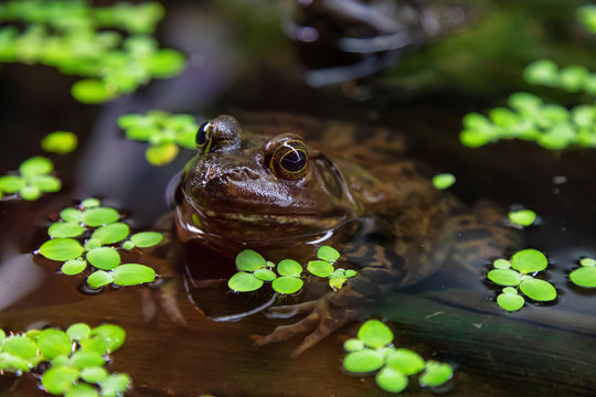 Close up of a small frog, Bullfrog, in water. Invasive species in British Columbia, Canada.