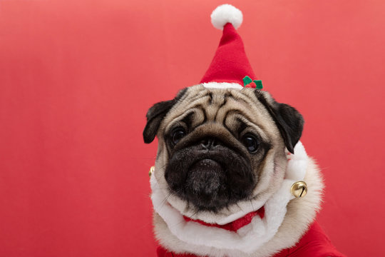 Adorable Pug wearing santa hat and santa costume in christmas day ready to celebrated with owner on red background,Christmas and New year concept