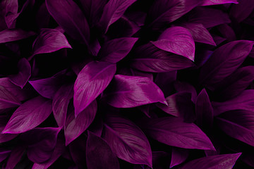 abstract purple leaf texture, nature background, tropical leaf