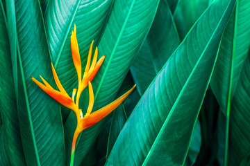 Fotobehang - colorful exotic flower on dark tropical foliage nature background, tropical leaf