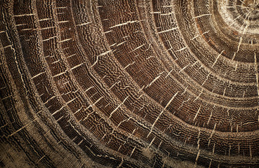 Stump of oak tree felled - section of the trunk with annual rings. Slice wood.