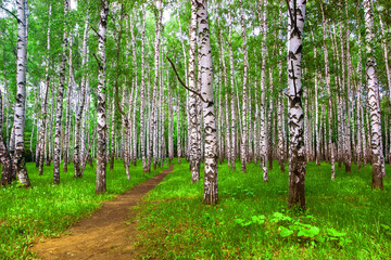 Bright sunny birch forest with a path in the summer. Green grass on the ground. Brown earthen road.
