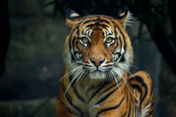 Spoed Fotobehang Tijger Proud Sumatran Tiger laying down and looking straight at the camera 2