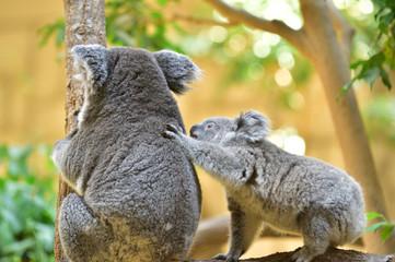【コアラの母子】お母さんにおんぶをせがむ赤ちゃんコアラ