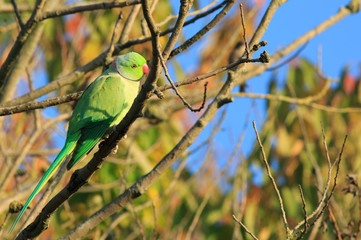 Ring necked Green Parakeet perched on a branch with a beautiful bright blue clear sky and lit by natual golden light