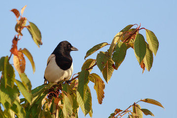 Side profile of a Eurasian black and white magpie perched on an autumnal coloured tree, with a clear blue bright sky.