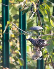 Common Starling (Sturnus vulgaris) perching on a garden bird feeder with natural blurred garden background