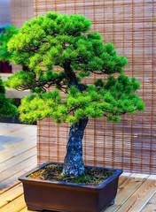 Papiers peints Bonsai Bonsai tree. Beautiful small pine tree