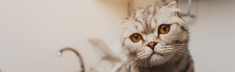 panoramic shot of adorable grey scottish fold cat looking at camera