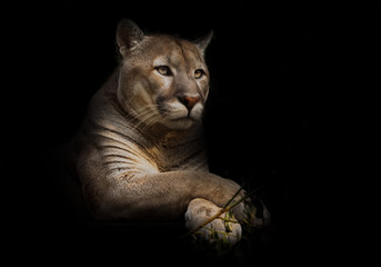 A proud beautiful predatory cat sits in the darkness. cat in the night forest, black background. cougar sits on a platform surrounded by green leaves, a big cat. Wall mural