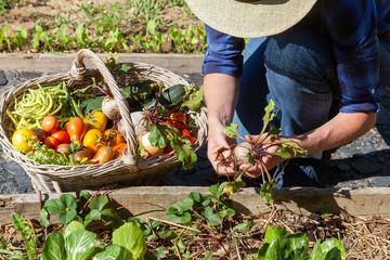Foto auf Leinwand Garten Au potager - récolte de légumes - betterave
