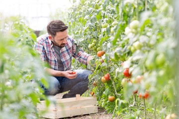 Farmer picking and smelling tomatoes in greenhouse Fotomurales