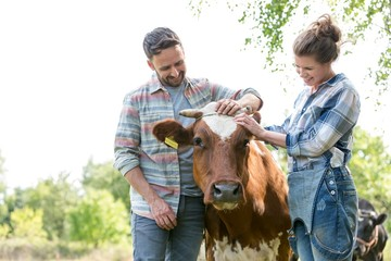 Farmers rubbing cows head in field