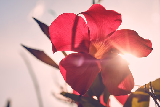 Single red blossom of a dipladenia flower against the blue sky and the sun seen from below