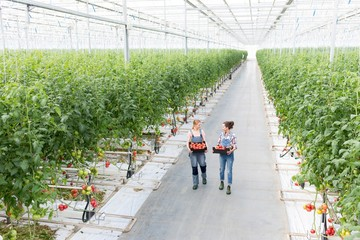 Young female farmers carrying tomatoes in crate at Greenhouse Papier Peint